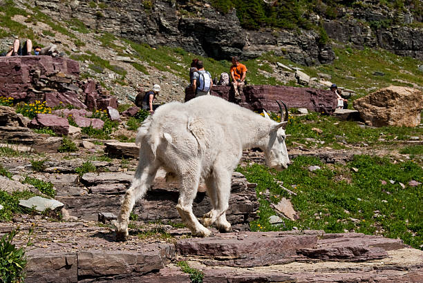 mountain goat walking by hikers - going to the sun road stock pictures, royalty-free photos & images