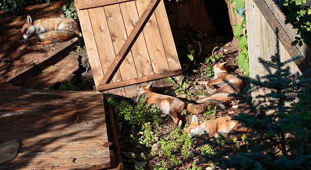 four urban foxes fast asleep in london garden - whiteway fox stock photos and pictures