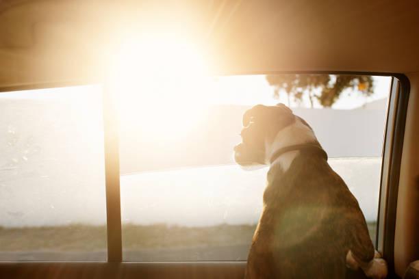 this one is quite curious - bokser pies zdjęcia i obrazy z banku zdjęć