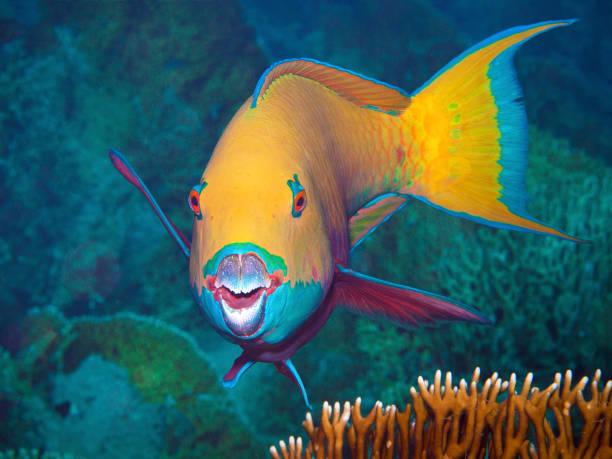 Dieser Papageifisch bittet den Unterwasserfotografen um ein Porträt. Ich habe dieses Foto während eines Tauchgangs im Nördlichen Roten Meer in Ägypten gemacht. – Foto