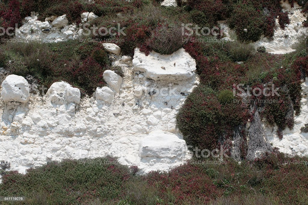 Coastal vegetation on white chalk cliffs south of England stock photo