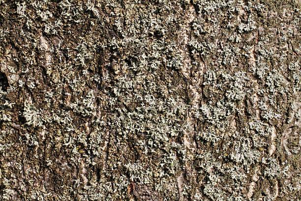 Frondose Flechte auf Baum of Heaven Rinde – Foto