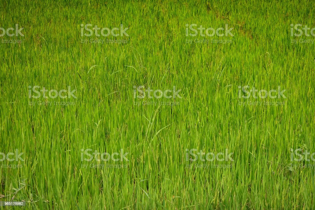 this picture is the green grass. Can be used for background, texture and pattern. royalty-free stock photo