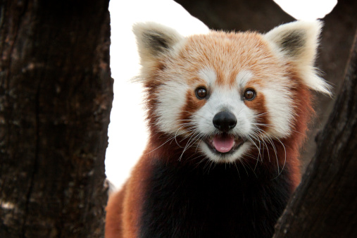 This playful Red Panda at a local zoo came in for a closer look at what I was doing, or he was posing for the camera.