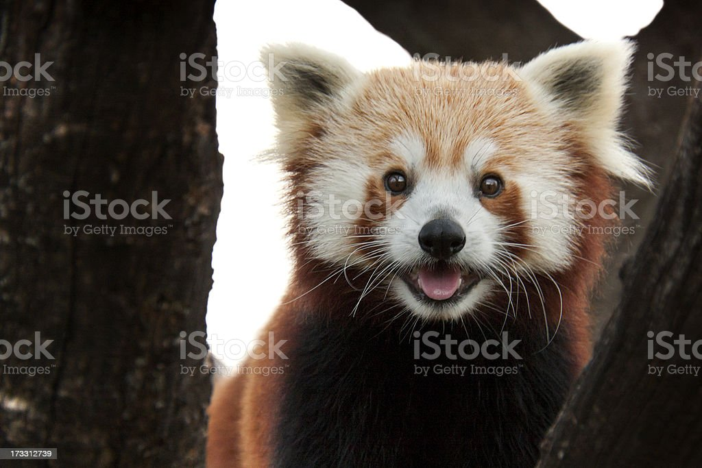 This Playful Red Panda Come In For Closer Look stock photo