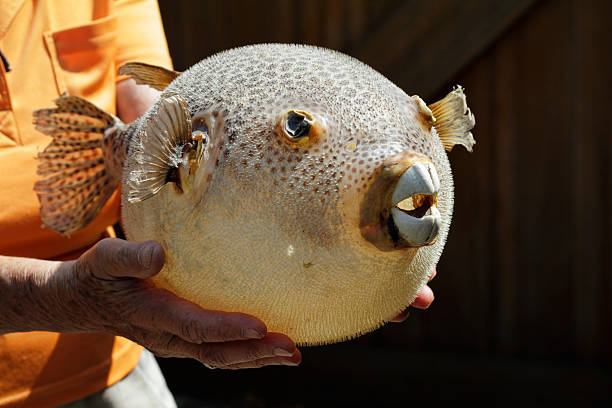 Poisonous pufferfish or balloon fish source of fugu stock photo