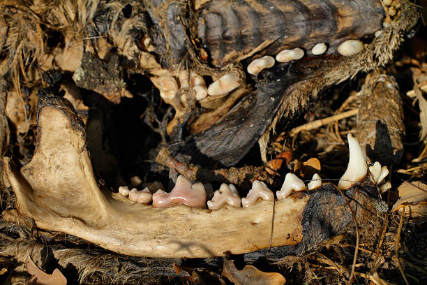 dead red fox lower jaw and palate - whiteway fox stock photos and pictures