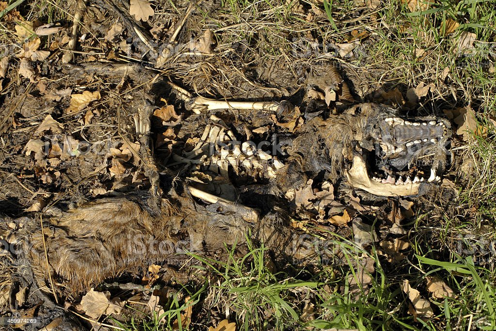 Red fox carcase returning to the earth stock photo