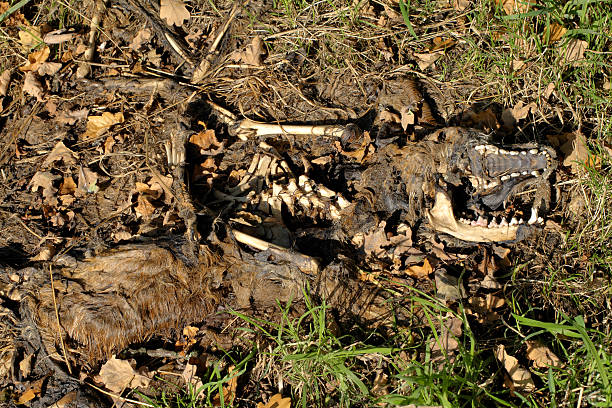 red fox carcase returning to the earth - whiteway fox stock photos and pictures