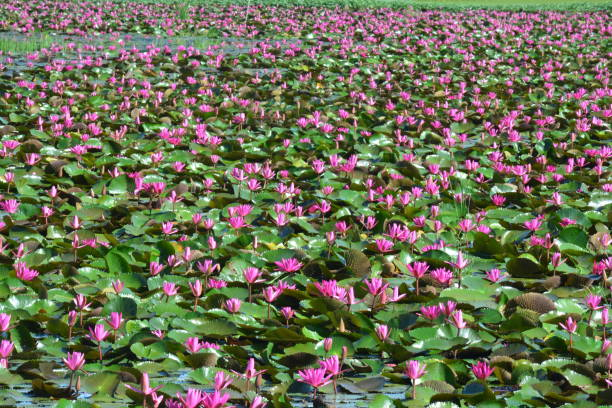 This spectacular site is home to millions of lotus flowers and appropriately named the Red Lotus Sea This spectacular site is home to millions of lotus flowers and appropriately named the Red Lotus Sea or Talay Bua Daeng appropriately stock pictures, royalty-free photos & images