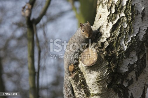 This squirrel adopted an inconspicuous pose and held it for a full minute. The grey coat and sleek lines make it hard to spot against the birch tree trunk, despite the lack of foliage in early spring.