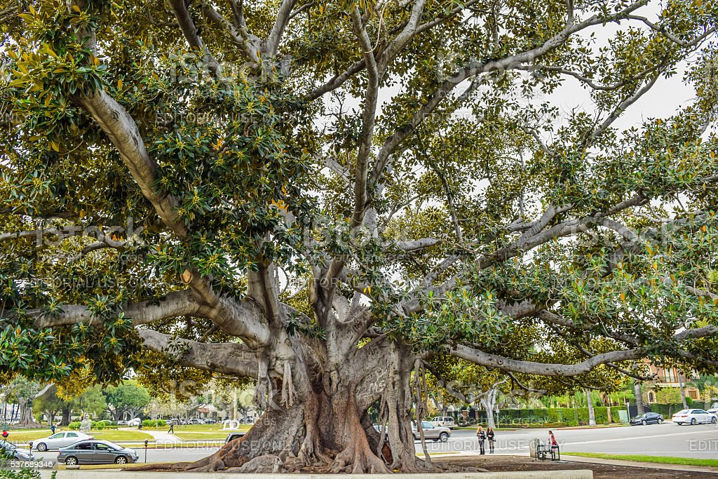This stately old Moreton Bay Fig stock photo