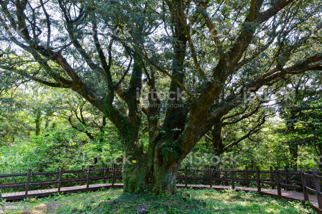 This tree is the biggest nutmeg tree royalty-free stock photo