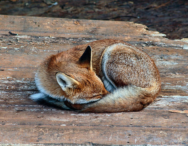 urban fox cub curled up asleep eyes closed - whiteway fox stock photos and pictures