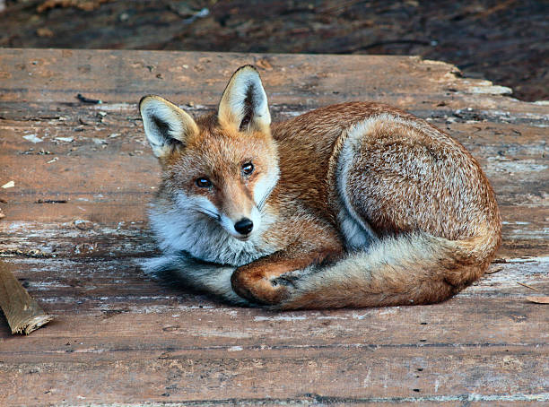 urban fox cub disturbed from sleep eyes open - whiteway fox stock photos and pictures