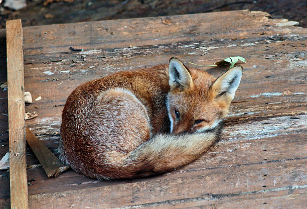urban fox cub curled up asleep eyes open - whiteway fox stock photos and pictures