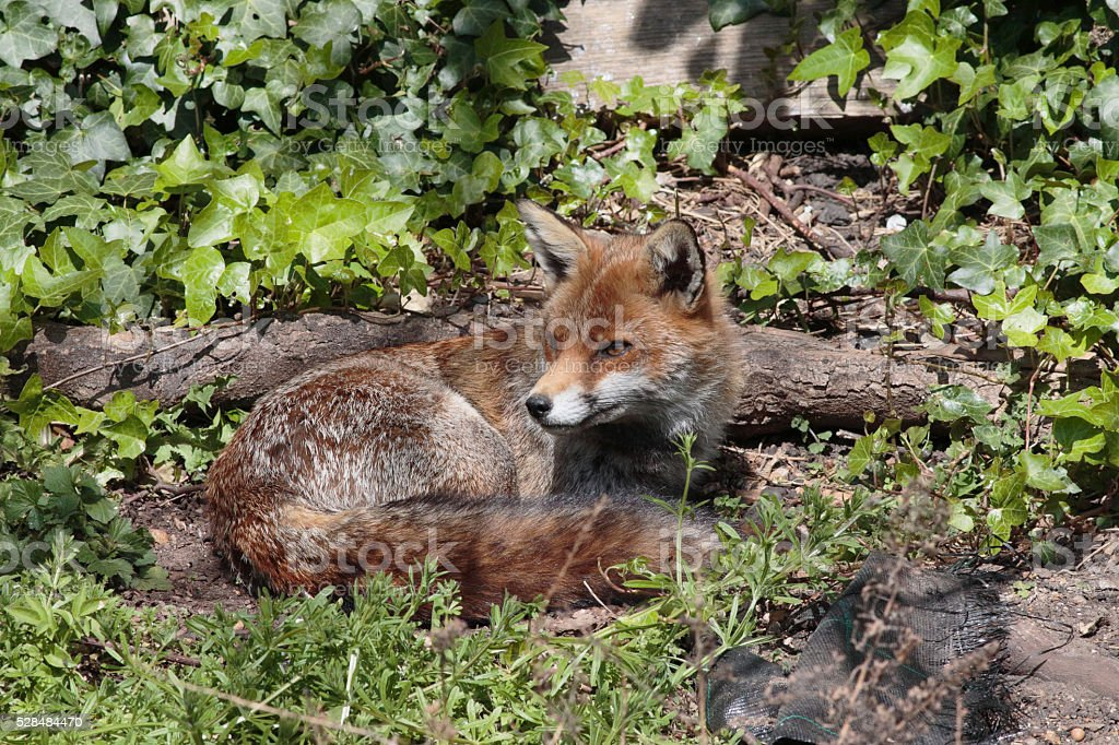 Urban red fox lying down in town garden stock photo