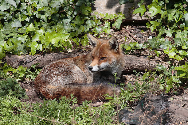 urban red fox lying down in town garden - whiteway fox stock photos and pictures
