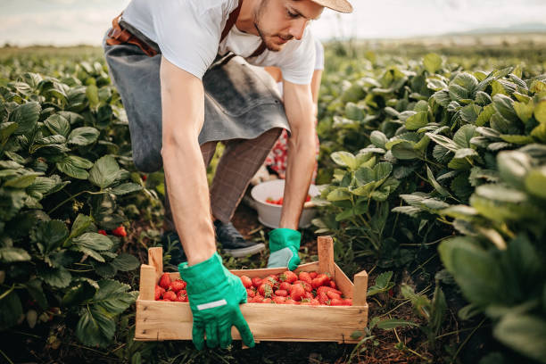 This was a good year for my plants Man picking strawberries in farm cultivated land stock pictures, royalty-free photos & images