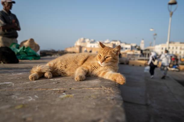 この黄色い猫はエッサウィラ、モロッコの港に太陽を楽しんでいます。 ストックフォト