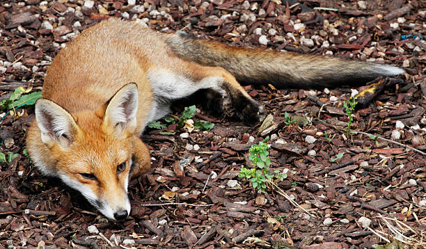 urban fox cub lying in a london garden - whiteway fox stock photos and pictures
