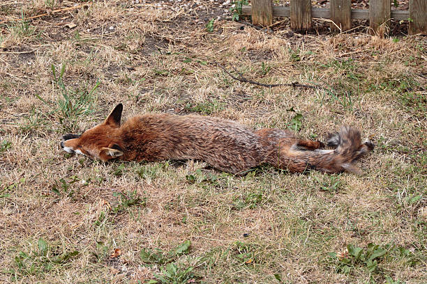 urban fox lying in a london garden - whiteway fox stock photos and pictures