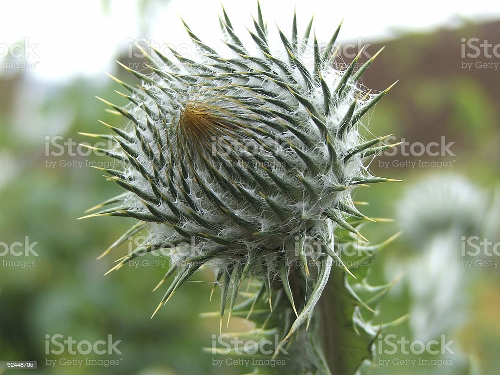 Thistle 2 royalty-free stock photo