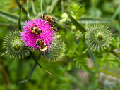Thistle with a honey bee.