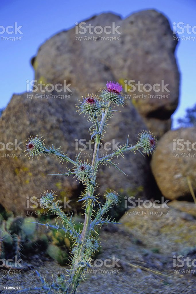 thistle and boulder royalty-free stock photo
