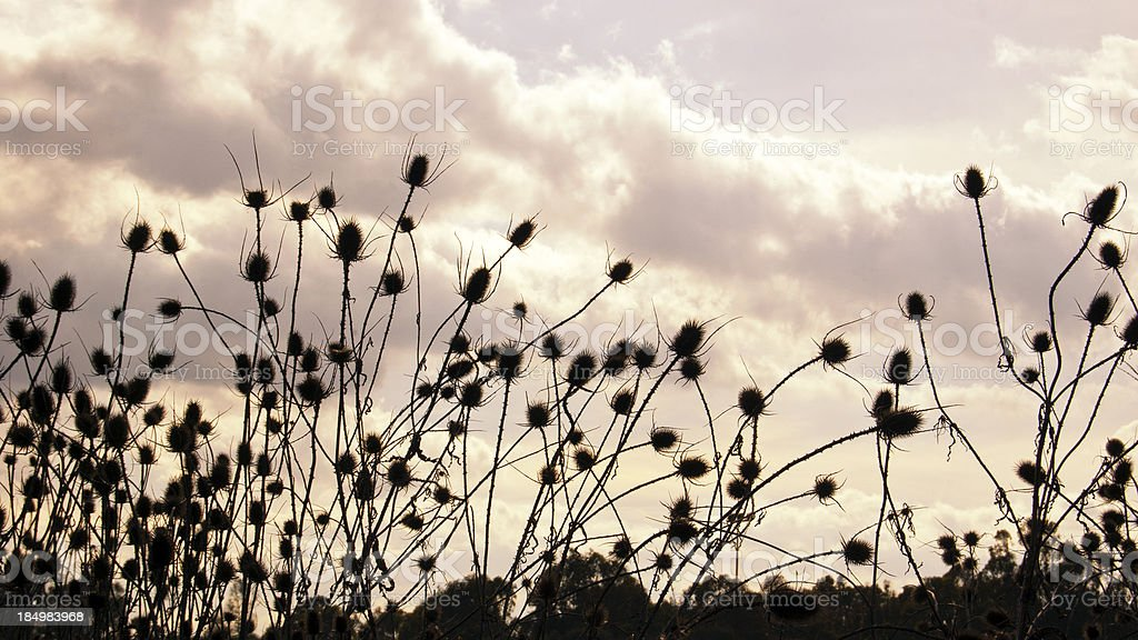 Thistle at sunset royalty-free stock photo
