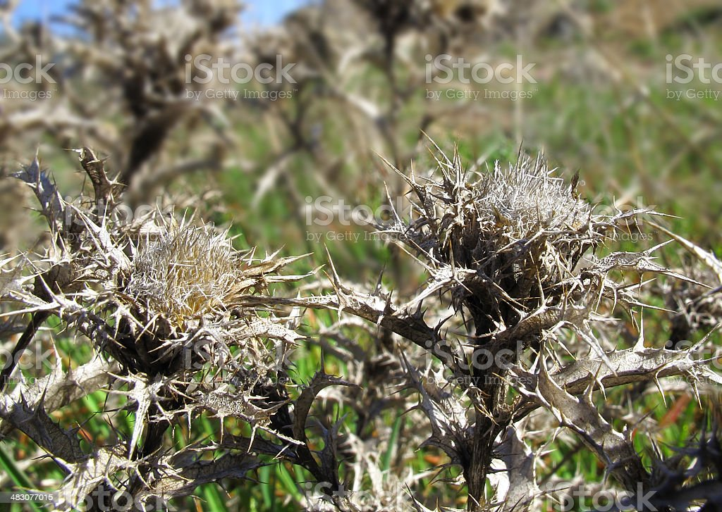 thistle at the forefront royalty-free stock photo