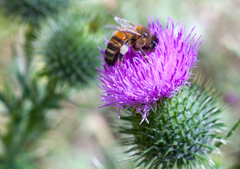 Bumblebee on blooming Echinops, green background