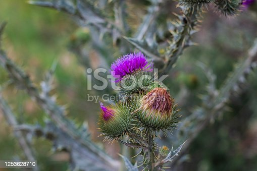 Flowering Cotton Thistle (Onopordum acanthium), Thistle buds and flowers on a summer field