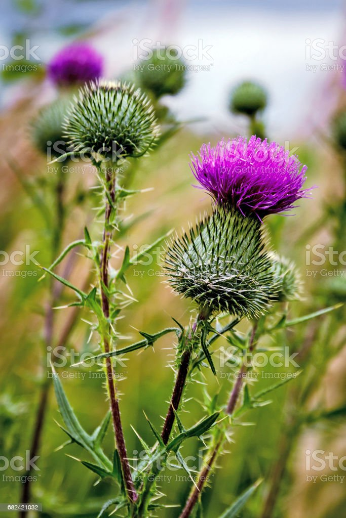 Thistle buds and flowers on a summer field. Thistle flowers is the symbol of Scotland stock photo
