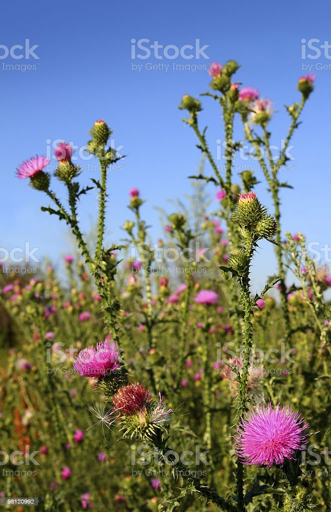 thistle bush royalty-free stock photo