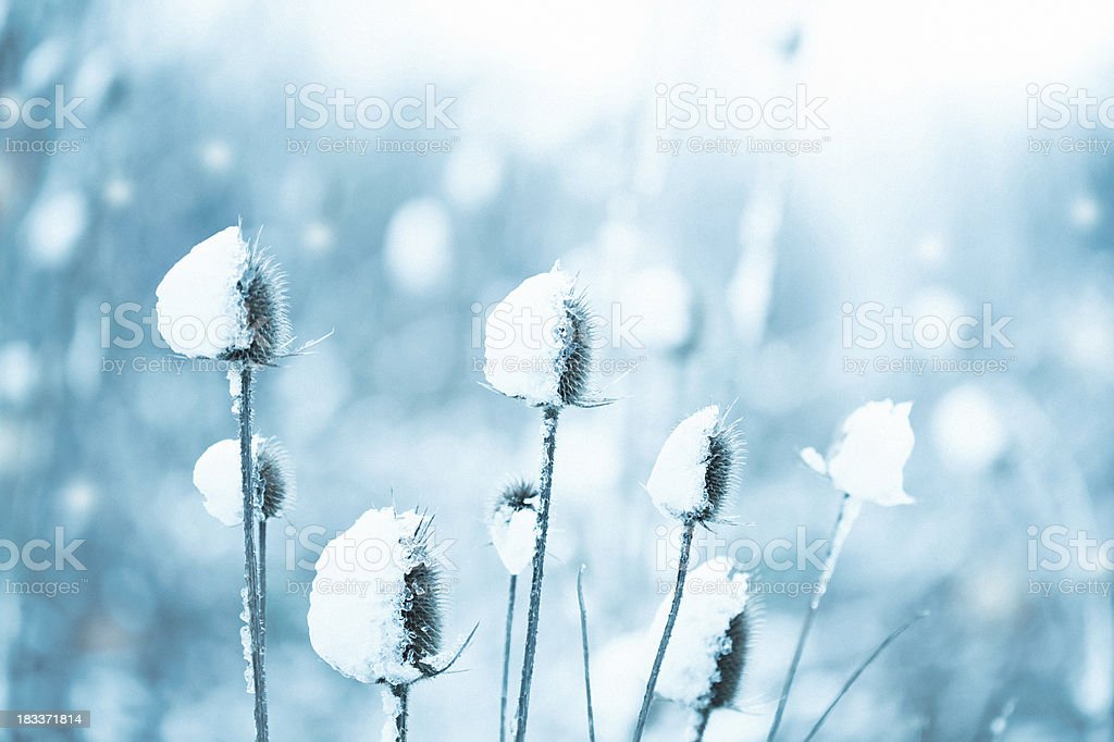 Thistle covered with snow royalty-free stock photo