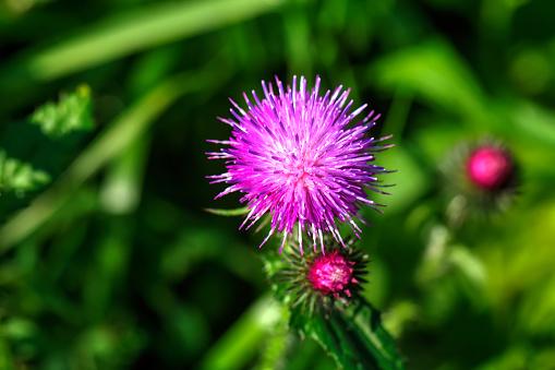 Thistle. Field flower.