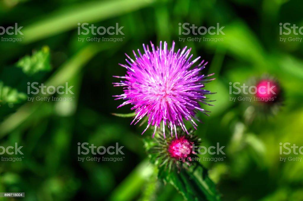 Thistle. Field flower. - foto stock