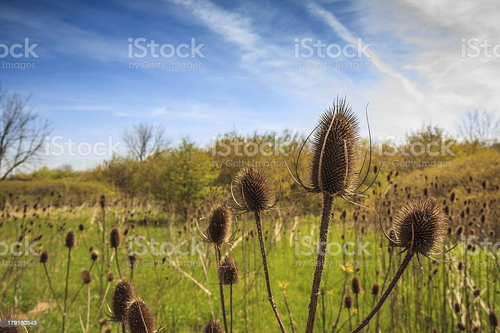 Thistle Field royalty-free stock photo