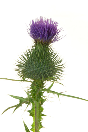 Close up of a thistle flower against white