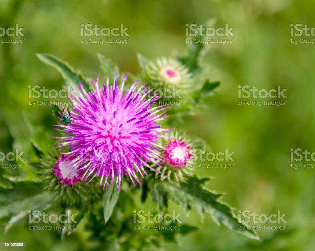 thistle flower closeup stock photo