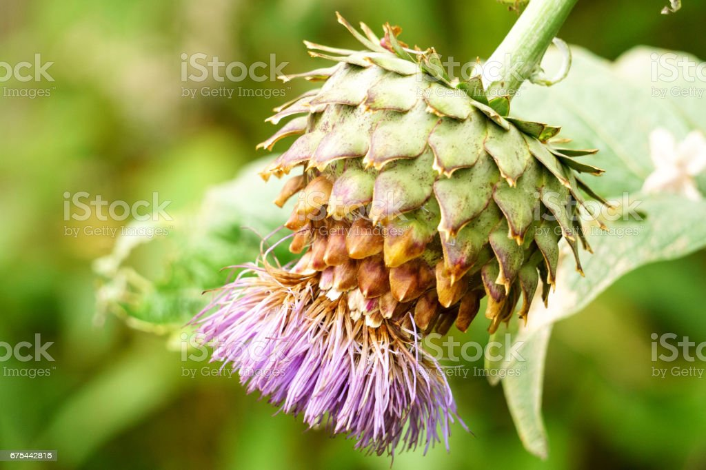 Thistle Flower - Esotic flower closeup stock photo