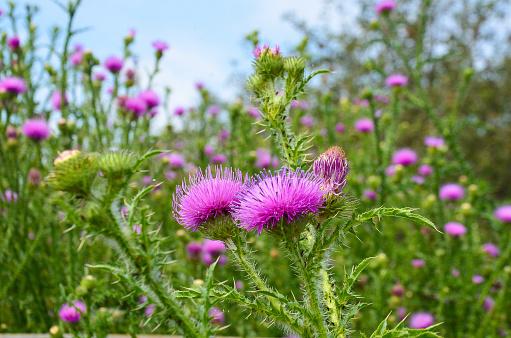 Thistle flower  green background grass