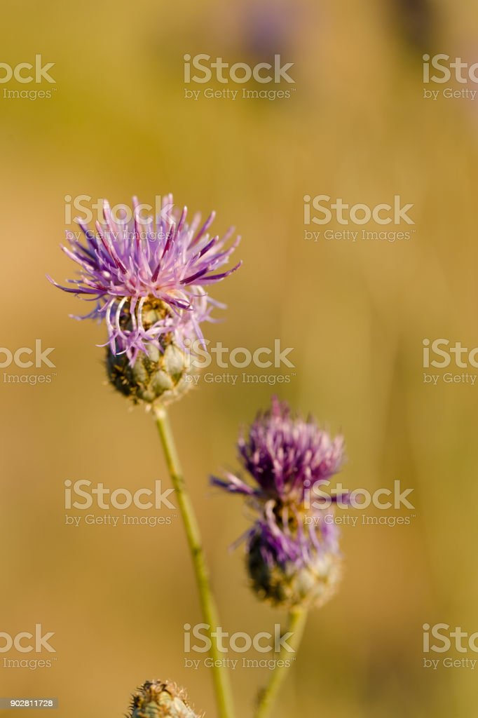 Thistle Flower in bloom in the field stock photo