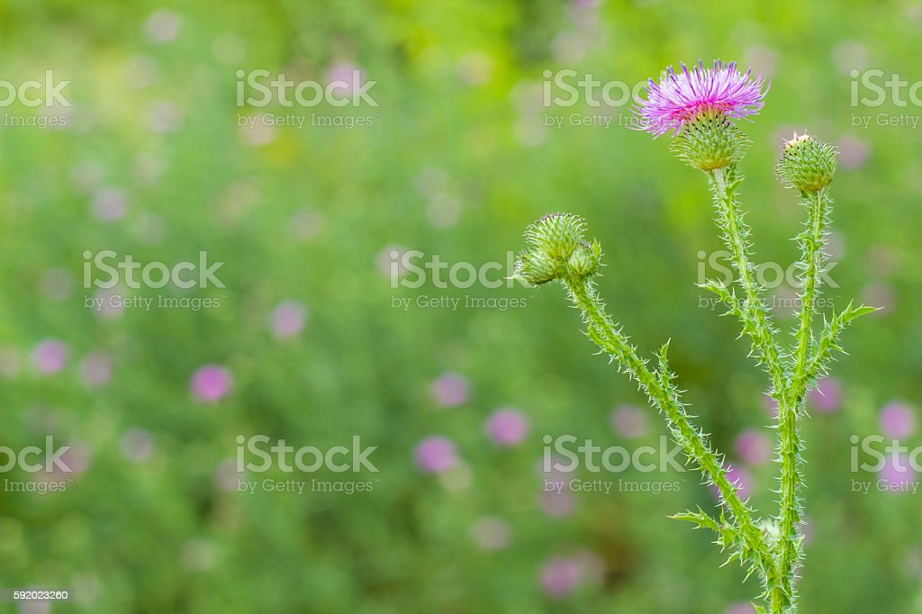 Thistle flower in the blurry background стоковое фото