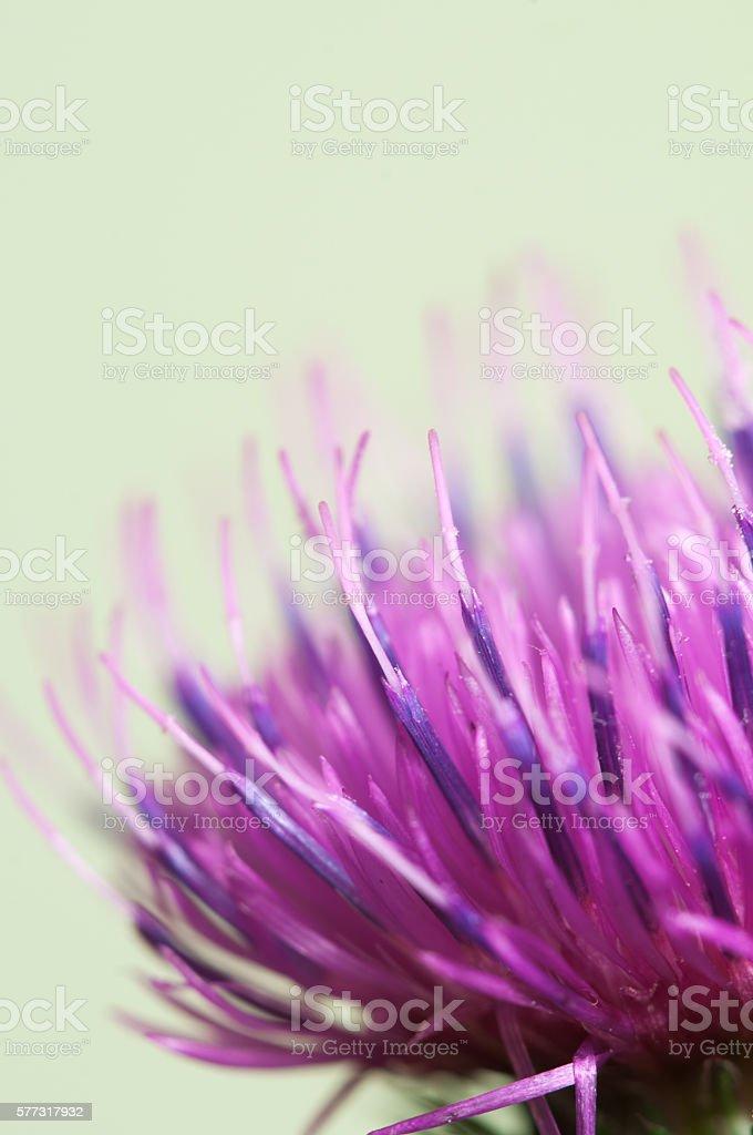Thistle flower stock photo