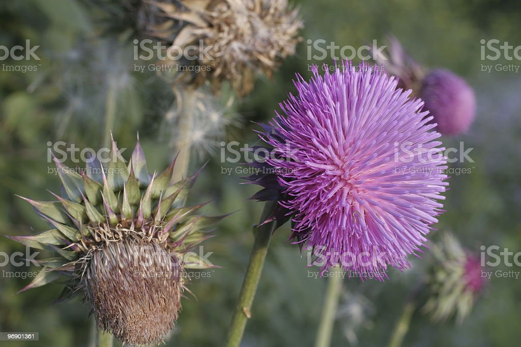 Thistle Flower royalty-free stock photo