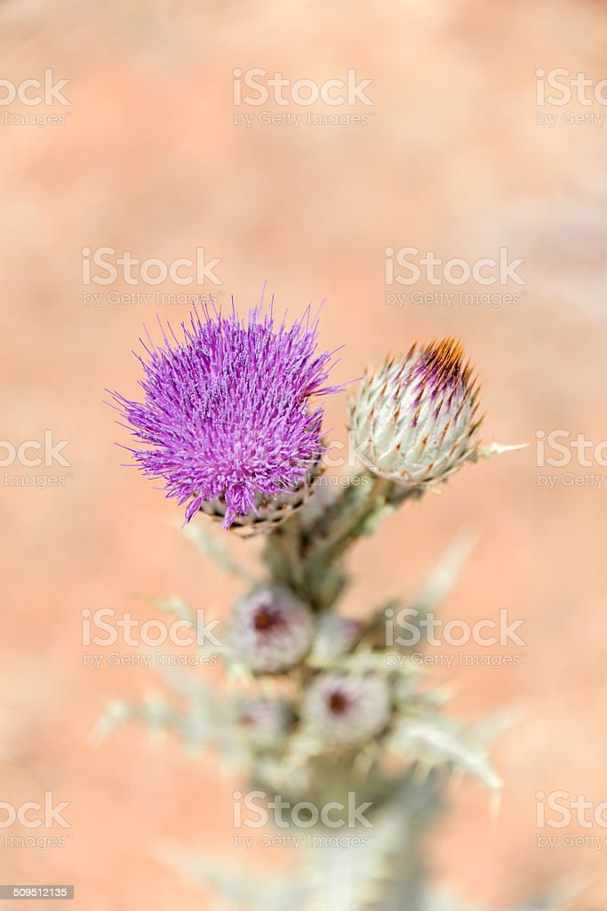 Thistle from the top stock photo
