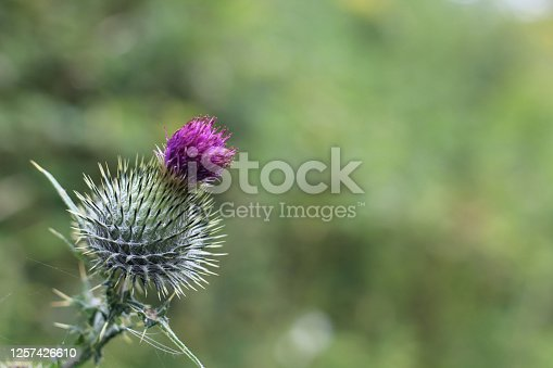 Close up showing this purple thistle growing in a forest. Focus is on the thistle only. Taken in Sherwood Forest . UK.