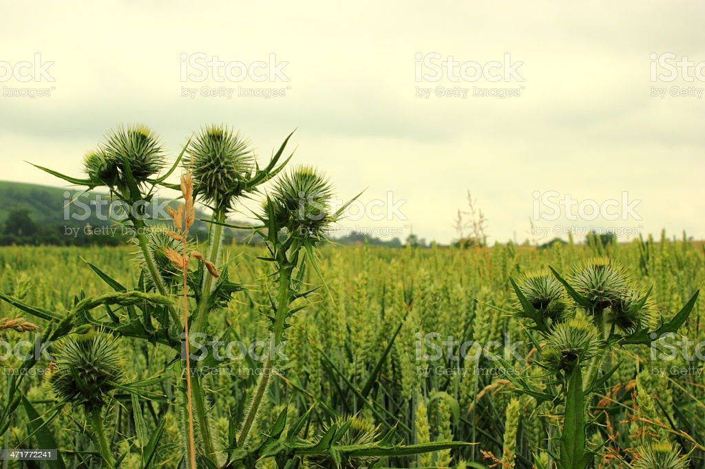 thistle in a wheat field royalty-free stock photo
